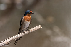 Welcome (armct) Tags: hirundoneoxena welcomeswallow swallow australian native indigenous tallebudgeracreek goldcoast queensland bird common popular nikon d810 200500mm nikkor zoom telephoto creek water