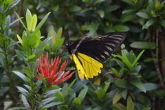 BRN19-0173j (ianh3000) Tags: sarawak malaysia cultural village birdwing butterfly insect kuching borneo
