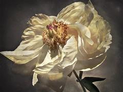 Peony beauty (lydiacassatt) Tags: inexplore explored peony hipstamatic tachman 12apostles iphoneonly flowers