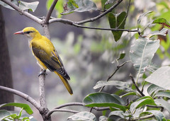 Indian Golden Oriole Female (Birdwatcher18) Tags: indiangoldenoriole golden oriole birds birder birding birdwatcher birdwatching birdonbranch nature natural fauna jungle forest