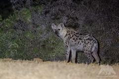 Spotted Hyena (fascinationwildlife) Tags: animal mammal predator wild wildlife nature natur national park sanparks south africa summer südafrika spotted hyena hyäne tüpfelhyäne night nocturnal waterhole addo elephant eastern cape