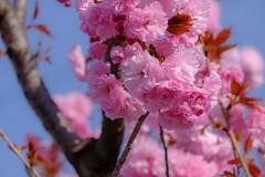 八重桜 (theoyoshida2019) Tags: 4月 fujifilmxt3 fujifilm fujinon lr velvia xc50230mmf4567oisⅱ フィルムシミュレーション 八重桜 春 晴れ 花