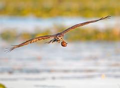 Snail Kite in Training... (DTT67) Tags: snailkite florida 14xtciii 500mmii 1dxmkii canon1dxmkii canon bif birdinflight flight fledgling bird nature wildlife