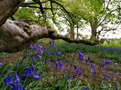 Bluebells growing under an old Hazel. The bluebells seem to grow in line with the low  branch. (Mellisapix) Tags: woods woodland bluebells wildflowers branch hazel purple blue greens nature wildlife ecosystems biodiversity ancientwoodland