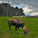 Mom and New Baby Bison