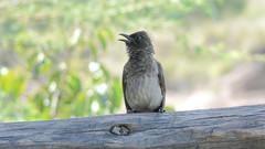Berberbulbul, Common Bulbul, Graubülbül (Pycnonotus barbatus)--2 (Kenneth Gerlach) Tags: africa bird bulbul fugl graubülbül pycnonotusbarbatus vogel narokcounty kenya