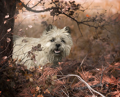 Cairn Terrier (Fabi's Photography) Tags: