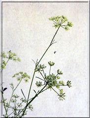 my parsley (fotomie2009) Tags: prezzemolo umbellifer ombrellifera apiaceae parsley insects green textured flora flowers fiori cornice framed