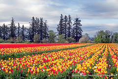 Peak Spring (Gary Grossman) Tags: tulips flowers landscape oregon northwest field woodburn willamette spring beauty april garygrossman garygrossmanphotography landscapephotography willamettevalley woodenshoetulipfarm partlycloudy tree pacificnorthwest