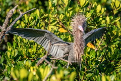 Reddish Egret Showing Off for Its Mate, Explore (dbadair) Tags: outdoor egret nature wildlife 7dm2 ef100400mm canon florida bird explore
