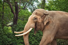 Just Smile.. (u c c r o w) Tags: berlin zoo asian elephant indian tusk smile trunk portrait male bull animal wildlife