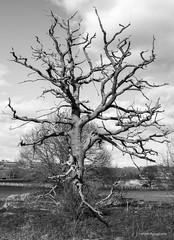 Skeleton Tree (SMRB Photography) Tags: tree mystery bw blackandwhite skeleton bleak