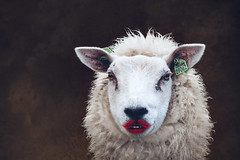 The botox generation (Ans van de Sluis) Tags: 2019 animals ansvandesluis february nature portrait sheep weurt lips surreal fun
