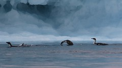 Antarctic Cormorants (phalacrocorax bransfieldensis) with Adelie Penguin swimming and diving in front of iceberg (Paul Cottis) Tags: seabird cormorant shag adelie penguin antarctica weddellsea paulcottis swim swimming dive diving iceberg blue ocean sea southernocean cormoran antartico endemic