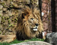 Mr Lion (hbp_pix) Tags: hbppix harry powers franklin park zoo lion tiger gorilla tapir