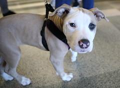 IMG_8786: Blue Eyes (i_am_lee_sam) Tags: pet expo arlington park 2019 pit bull bully breed puppy blue eyes cute