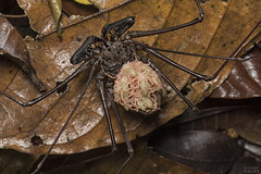 Tailless whip scorpion (ggallice) Tags: