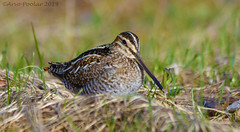 Common Snipe (Arvo Poolar) Tags: outdoors ontario canada cardenontario arvopoolar bird commonsnipe nature naturallight natural nikond7000 naturephotography
