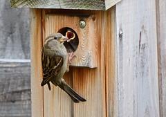Direct Deposit (deanrr) Tags: bird housesparrow meal sparrow morgancountyalabama backyardbird outdoor nature alabama spring 2019 feathers birdbox family