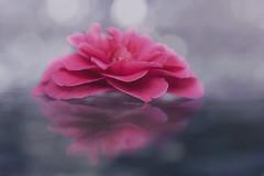 Fallen (charhedman) Tags: camelia iliketheseflowersbetteroncetheyvefallenthanwhentheyreonthebush glasspatiotable reflections rain water bokeh flower macro