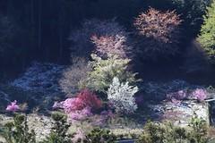 Spring Colors (seiji2012) Tags: あきる野市 乙津 桃 桜 japan akiruno tama happyplanet asiafavorites