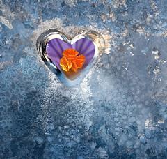 hello spring! (marianna armata) Tags: winter spring corcus light window peaking blue macro mariannaarmata flower cold ice seasons change heart love