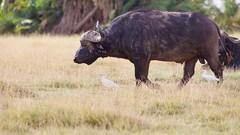 Bull (Nagarjun) Tags: bigfive capebuffalo amboselinationalpark kenya africa animal safari wildlife savannah dry herbivore vegetarian