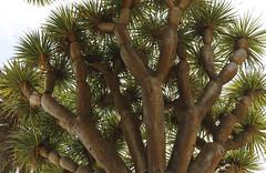 TRONCOS (Pedro Angel Ruiz) Tags: jardínbotánicodearucas arucas laspalmas canarias canary islascanarias canaryislands drago dracaenaadraco gando garden jardín turimo nature naturaleza flor flordelparaìso cactus primavera paradise