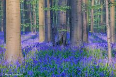 Bluebell forest Hallerbos Belgium (Petra Schneider photography) Tags: hasenglöckchen hallerbos boisdehal bluebells bluebellseason bluebellforest bluebellwoods beechtrees beech forest wood belgium vlaamsbrabant spring waldhyazinthen jacinthes wildflowers morninglight earlymorning closeup telephotolens nikond750 nikon80400mm