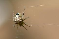 Spider Look! (suekelly52) Tags: spider gardenspider arachnid web macro