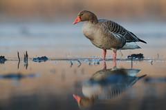 Greylag Goose | grågås | Anser anser (Daniel.Pettersson) Tags: anseranser greylaggoose grågås sweden fåglar fågel birds bird