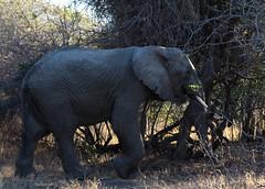 Elephant eating (Nebelang) Tags: elefante elephant sudafrica southafrica moditlo river lodge reserva privada private reserve wildlife wild animal salvaje vida life septiembre september parque nacional kruger national park mpumalanga comiendo eating