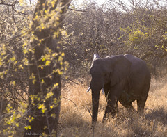 Elephant under the sun (Nebelang) Tags: elefante elephant sudafrica southafrica moditlo river lodge reserva privada private reserve wildlife wild animal salvaje vida life septiembre september parque nacional kruger national park mpumalanga bajoelsol underthesun sol sun