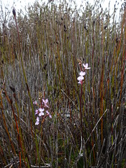 2018-11-28 Whaleback Lookout 12 - Stylidium sp. - Triggerplant flowers (Cowirrie) Tags: whalebacklookouttrack stylidiaceae stylidium stylidiumsp triggerplant purpleflower flower