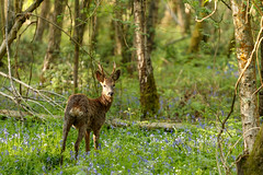 Roe Deer Stag in Bluebell Wood (Unintended_Keith) Tags: roedeer male stag bluebells woods nature wildlife canon1dx sigma180mmf28apomacroexdgoshsm
