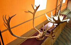 Cariboo & Moose Antlers (R D C) Tags: 2012 ak denalinationalpark nationalparks alaska