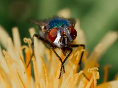Fly (jim2302) Tags: fly eyes eye macro flower summer olympus penf peb ireland meath garden