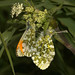 Orange Tip (Anthocharis cardamines) m+f
