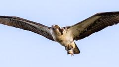 Osprey (Gary R Rogers) Tags: fish bird flight oregon raptor osprey jacksonbottom
