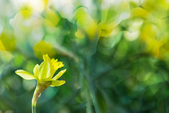 At last, Spring! (N.Clark) Tags: daffodils springcolours floral spring subjectisolation gardenplant yellowbloom shallowdepthoffield warmtones bokeh winnipeg canada