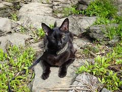Kakashi resting on the warm rocks (annette.allor) Tags: black cat feline adventure woods nature