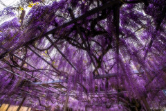 Wisteria Trellis (moaan) Tags: shisoh hyogo japan flower flowering flora wisteria trellis ceiling color richlycolored purple onethousandoldwisteriatree otoshishrine 千年藤 大歳神社 springtime may newera 令和 1thofmay wideangle wideanglephotography canoneos5dsr zeissdistagont2815ze utata 2019 distagont2815