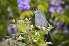 Gray Catbird (jt893x) Tags: 150600mm bird catbird d500 dumetellacarolinensis graycatbird jt893x nikon nikond500 sigma sigma150600mmf563dgoshsms songbird thesunshinegroup coth alittlebeauty coth5 sunrays5