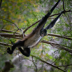 2019 Spider monkey (jeho75) Tags: sony ilce 7m2 g tele mexico cañón del sumidero spider monkey spinnenaffe klammeraffe mesoamerica animal tier affe nature natur jungle