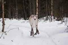 Finnland 2019 (Stefan Giese) Tags: nikon d750 28300mm afs28300mmf3556 finnland lappland posio rentier reindeer tier animal ailo