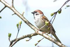 *** (Yuriy Kuzmenok) Tags: птицы птица природа воробей