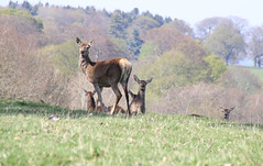 Deer (davva73) Tags: chatsworthhouse deer nature wildlife peakdistrict derbyshire uk greatbritain canon canoneos countrylife