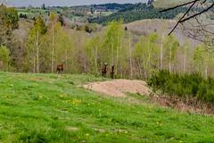 53-Caprins (Alain COSTE) Tags: 2019 forêt hautevienne lavarache limousin nikon ocb printemps randonnée eymoutiers france