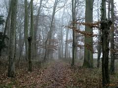 Mood in forest (FleurdeLotus28) Tags: arbre tree forêt forest wood winter hiver froid cold feuilles leaves brume mood fog mist atmosphere nature landscape