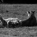 parc des félins - lion d'Angola